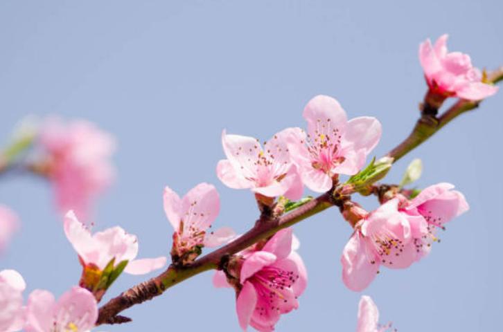 春花入药治小病